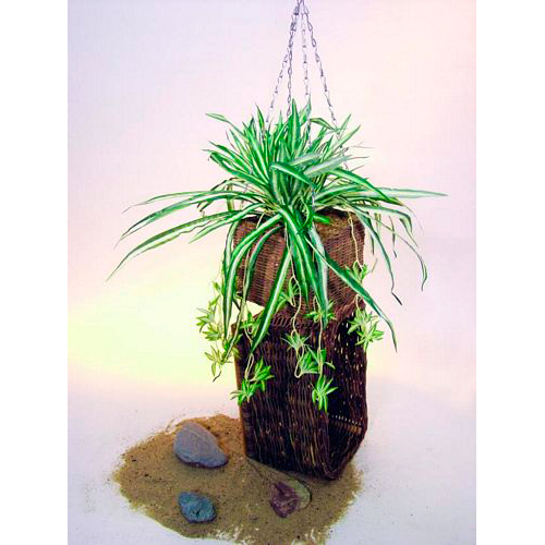 EUROPALMS 50cm Rönsylilja, aidon oloinen. Spider plant. Extremly realistic plant which shapes itself