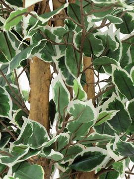 EUROPALMS 180cm Limoviikuna, kirjavat lehdet ja aito runko. Limoviikuna on viikunoiden sukuun kuuluva laji, joka kasvaa luonnonvaraisena Etelä- ja Kaakkois-Aasiassa sekä Pohjois-Australiassa. Limoviikuna on myös suosittu koristekasvi, josta on jalostettu runsaasti erilaisia lajikkeita. Limoviikunaa on kasvatettu huonekasvina jo lähes parisataa vuotta. Se on lähtöisin Intiasta. Limoviikuna muistuttaa hieman kotoista koivuamme tuuheine ja siroine lehtineen. Limoviikuna voi kasvaa luonnonvaraisena jopa 30 metriä korkeaksi puuksi. Lehdet ovat 6–13 cm pitkiä, soikeita ja pitkäkärkisiä sekä kiiltäviä. Lajikkeet eroavat toisistaan lehtien koon, värin sekä värityksen kirjavuuden suhteen. Koko viikunasarjan kaikki koot ovat erittäin edullisia.!