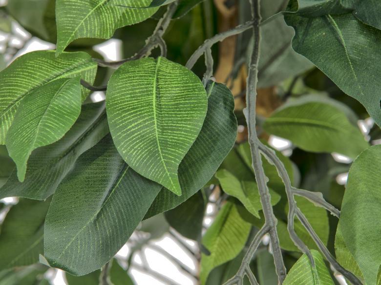 EUROPALMS 150cm Limoviikuna, lehdissä vaaleampi lehtisuonitus ja monirunkoinen aito runko. Limoviikuna on viikunoiden sukuun kuuluva laji, joka kasvaa luonnonvaraisena Etelä- ja Kaakkois-Aasiassa sekä Pohjois-Australiassa. Limoviikuna on myös suosittu koristekasvi, josta on jalostettu runsaasti erilaisia lajikkeita. Limoviikunaa on kasvatettu huonekasvina jo lähes parisataa vuotta. Se on lähtöisin Intiasta. Limoviikuna muistuttaa hieman kotoista koivuamme tuuheine ja siroine lehtineen. Limoviikuna voi kasvaa luonnonvaraisena jopa 30 metriä korkeaksi puuksi. Lehdet ovat 6–13 cm pitkiä, soikeita ja pitkäkärkisiä sekä kiiltäviä. Lajikkeet eroavat toisistaan lehtien koon, värin sekä värityksen kirjavuuden suhteen. Koko viikunasarjan kaikki koot ovat erittäin edullisia.