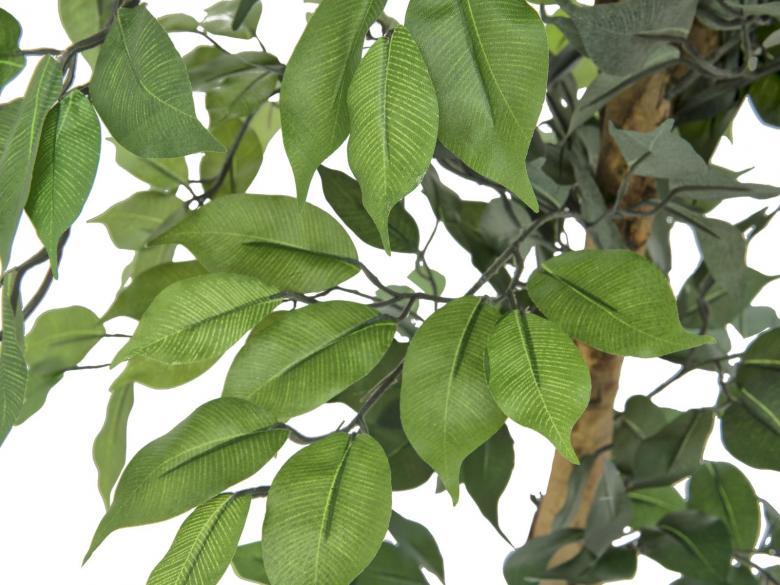 EUROPALMS 180cm Limoviikuna, lehdissä vaaleampi lehtisuonitus ja monirunkoinen aito runko. Limoviikuna on viikunoiden sukuun kuuluva laji, joka kasvaa luonnonvaraisena Etelä- ja Kaakkois-Aasiassa sekä Pohjois-Australiassa. Limoviikuna on myös suosittu koristekasvi, josta on jalostettu runsaasti erilaisia lajikkeita. Limoviikunaa on kasvatettu huonekasvina jo lähes parisataa vuotta. Se on lähtöisin Intiasta. Limoviikuna muistuttaa hieman kotoista koivuamme tuuheine ja siroine lehtineen. Limoviikuna voi kasvaa luonnonvaraisena jopa 30 metriä korkeaksi puuksi. Lehdet ovat 6–13 cm pitkiä, soikeita ja pitkäkärkisiä sekä kiiltäviä. Lajikkeet eroavat toisistaan lehtien koon, värin sekä värityksen kirjavuuden suhteen. Koko viikunasarjan kaikki koot ovat erittäin edullisia.