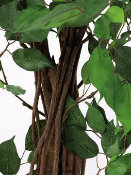EUROPALMS 210cm Limoviikuna, monirunkoinen aito runko. Limoviikuna on viikunoiden sukuun kuuluva laji, joka kasvaa luonnonvaraisena Etelä- ja Kaakkois-Aasiassa sekä Pohjois-Australiassa. Limoviikuna on myös suosittu koristekasvi, josta on jalostettu runsaasti erilaisia lajikkeita. Limoviikunaa on kasvatettu huonekasvina jo lähes parisataa vuotta. Se on lähtöisin Intiasta. Limoviikuna muistuttaa hieman kotoista koivuamme tuuheine ja siroine lehtineen. Limoviikuna voi kasvaa luonnonvaraisena jopa 30 metriä korkeaksi puuksi. Lehdet ovat 6–13 cm pitkiä, soikeita ja pitkäkärkisiä sekä kiiltäviä. Lajikkeet eroavat toisistaan lehtien koon, värin sekä värityksen kirjavuuden suhteen. Koko viikunasarjan kaikki koot ovat erittäin edullisia!