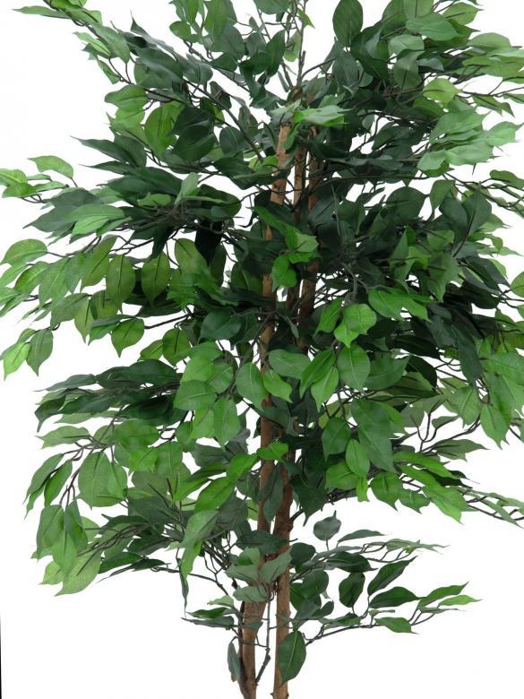 EUROPALMS 300cm Limoviikuna, monirunkoinen aito runko. Limoviikuna on viikunoiden sukuun kuuluva laji, joka kasvaa luonnonvaraisena Etelä- ja Kaakkois-Aasiassa sekä Pohjois-Australiassa. Limoviikuna on myös suosittu koristekasvi, josta on jalostettu runsaasti erilaisia lajikkeita. Limoviikunaa on kasvatettu huonekasvina jo lähes parisataa vuotta. Se on lähtöisin Intiasta. Limoviikuna muistuttaa hieman kotoista koivuamme tuuheine ja siroine lehtineen. Limoviikuna voi kasvaa luonnonvaraisena jopa 30 metriä korkeaksi puuksi. Lehdet ovat 6–13 cm pitkiä, soikeita ja pitkäkärkisiä sekä kiiltäviä. Lajikkeet eroavat toisistaan lehtien koon, värin sekä värityksen kirjavuuden suhteen. Koko viikunasarjan kaikki koot ovat erittäin edullisia!