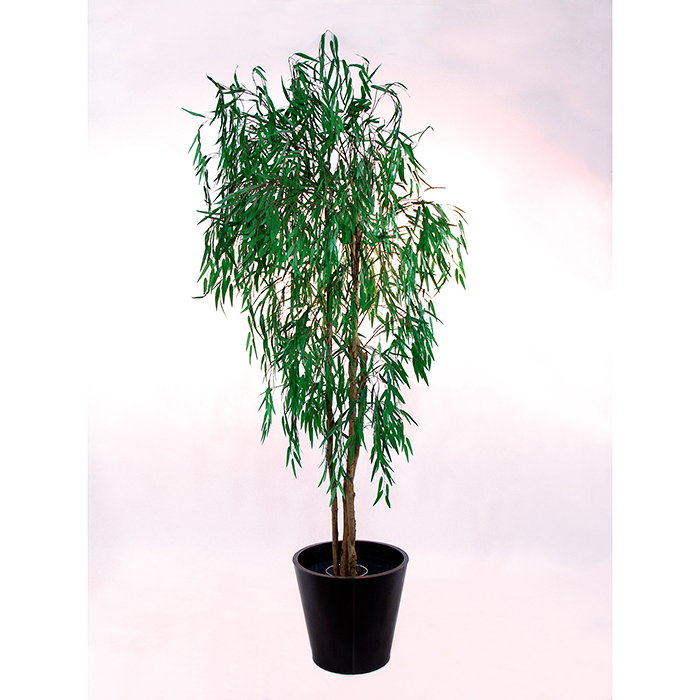 EUROPALMS 270cm Itkupaju. Weeping Willow, an eye catcher, you wouldn't want to miss, and yet so raw material friendly!