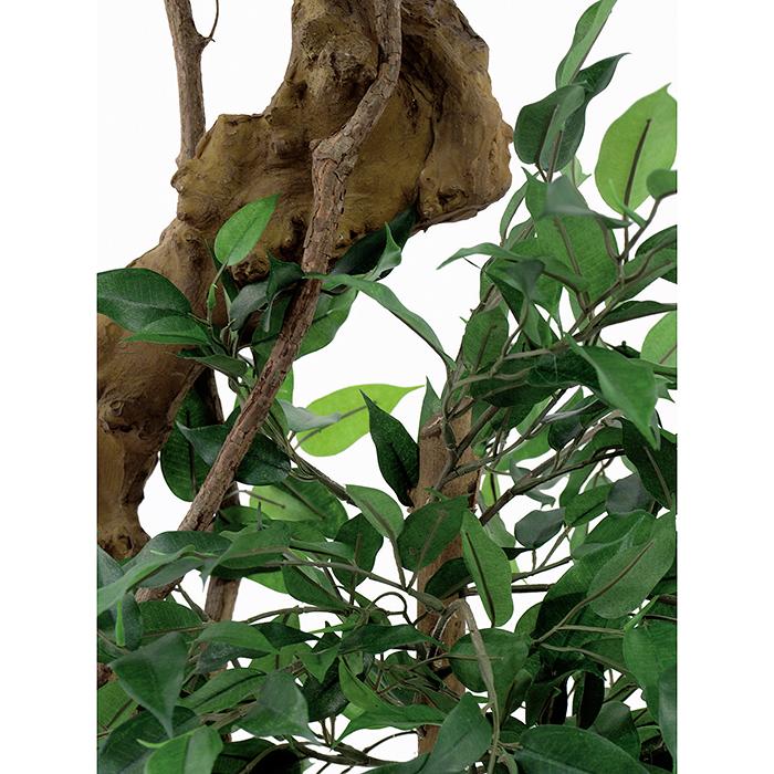 EUROPALMS 170cm Limoviikuna bonsai-rungolla. Limoviikuna on viikunoiden sukuun kuuluva laji, joka kasvaa luonnonvaraisena Etelä- ja Kaakkois-Aasiassa sekä Pohjois-Australiassa. Limoviikuna on myös suosittu koristekasvi, josta on jalostettu runsaasti erilaisia lajikkeita. Limoviikunaa on kasvatettu huonekasvina jo lähes parisataa vuotta. Se on lähtöisin Intiasta. Limoviikuna muistuttaa hieman kotoista koivuamme tuuheine ja siroine lehtineen. Limoviikuna voi kasvaa luonnonvaraisena jopa 30 metriä korkeaksi puuksi. Lehdet ovat 6–13 cm pitkiä, soikeita ja pitkäkärkisiä sekä kiiltäviä. Lajikkeet eroavat toisistaan lehtien koon, värin sekä värityksen kirjavuuden suhteen. Koko viikunasarjan kaikki koot ovat erittäin edullisia.