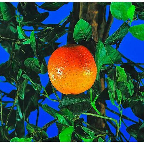 EUROPALMS 180cm Appelsiinipuu hedelmillä. Orange Tree. Orange Tree - perfect for the food area