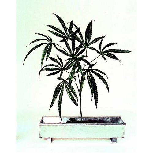 EUROPALMS 12kpl 100cm Cannabis-oksa. Can, discoland.fi