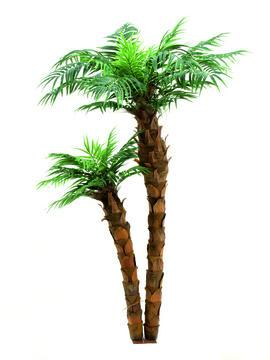 EUROPALMS LOPPU!!120-155cm Kanariantaatelipalmu kahdella rungolla. Phoenix Canariensis palm, 2-trunks. Ideal proportions even for single pots.