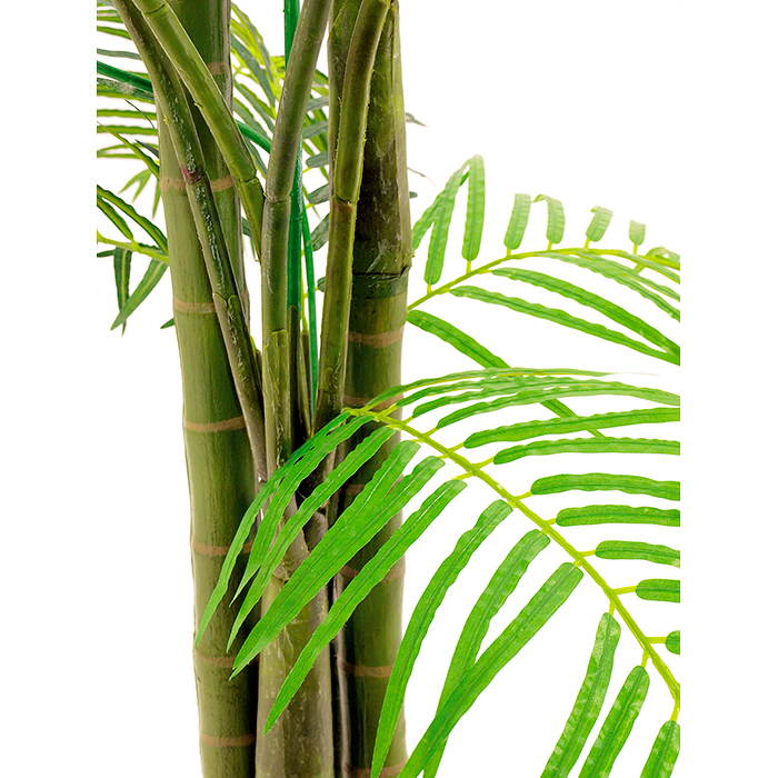 EUROPALMS 210cm Kultapalmutaimi kolmirunkoinen tilaviin paikkoihin, Kultapalmua pidetään trooppisissa ja subtrooppisissa ympäristöissä koristekasveina puutarhassa. Pohjoisilla leveyspiireillä kultapalmu on yleinen sisätilojen huonekasvi, ja sitä näkeekin usein esimerkiksi julkisissa tiloissa, joissa on hyvin tilaa kultapalmulle. Luonnossa kultapalmu kasvaa usean metrin korkuiseksi, mutta luonnollisesti kotona kasvattaessa näihin mittoihin ei useimmiten päästä. Huonekasvina kultapalmu on useimmiten noin kahden metrin korkuinen.
