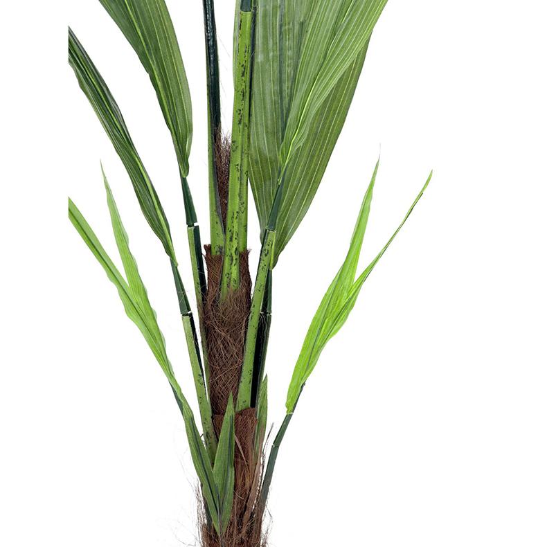 EUROPALMS 150cm Kookospalmutaimi. Kookospalmu tunnetaan hedelmästään kookospähkinästä, se kasvaa jopa 40 metrin pituiseksi. Kookospalmun runko on haaraton, ja lehdet lähtevät tähtimäisesti yhdestä pisteestä. Palmu on kotoisin Kaakkois-Aasian rannikoilta Malesia, Indonesia, Filippiinit ja Melanesia. Uskotaan että sen luonnonmuodot ovat levinneet merivirtojen mukana jo esihistoriallisena aikana. Nykyisin sitä viljellään laajasti tropiikissa ja subtropiikissa. Kookospalmu on mielenkiintoinen ja tavallisuudesta poikkeava katseenvangitsija joko yksittäiskasvina tai ryhmänä.