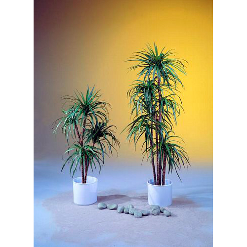 EUROPALMS 90cm Jukkapalmu kaksirunkoinen, aidot rungot. Yucca palm tree with natural trunks. Natural Yucca palm tree, for almost every decoration