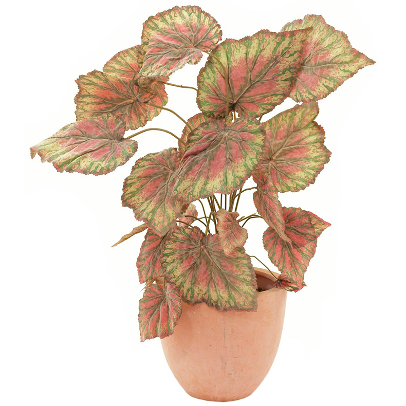 EUROPALMS Rex Begonia, vihreänpurppura. Rex Begonia, green-purple. Easily bending leaves with velvet surface