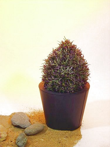 EUROPALMS 30cm Rosemary Topiary with pot, discoland.fi