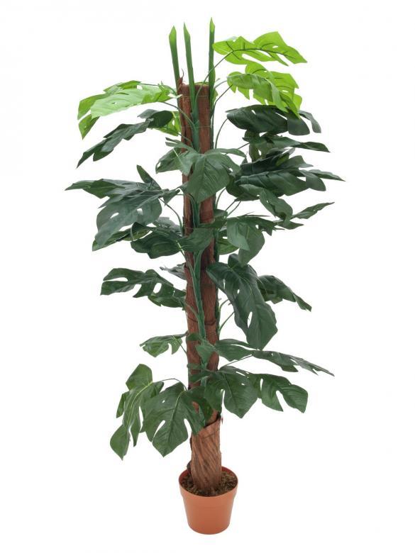 EUROPALMS 150cm Peikonlehti tuella, aidot Peikonlehdet ovat köynnöstäviä, suurilehtisiä kasveja, joita yleisesti kasvatetaan huonekasveina. Peikonlehdet ovat kotoisin Keski- ja Etelä-Amerikasta. Luonnonvaraisena ne voivat kasvaa kymmenien metrien mittaiseksi, huonekasvina parin–kolmen metrin pituiseksi.