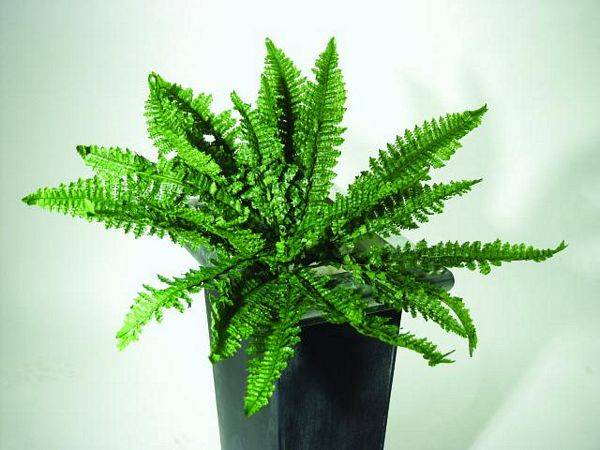 EUROPALMS 65cm Ruffle Fern 24 leaves , discoland.fi