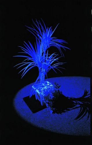 EUROPALMS 90cm Jukkapalmu 3-runkoinen, valkoinen, hohtaa ultraviolettivalossa (mustavalossa). Perinteinen UV-aktiivinen tilakoriste. High Tech decoon.