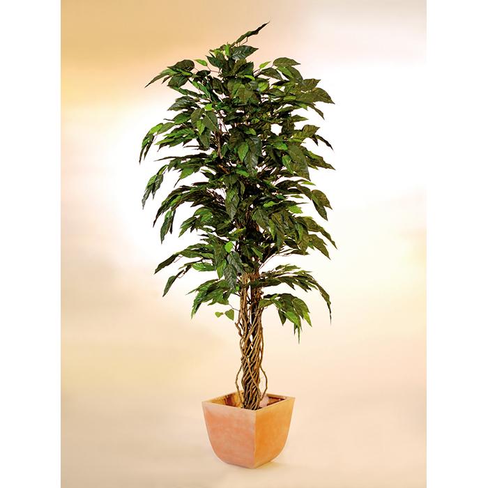 EUROPALMS 250cm Kamferipuu. Camphor tree