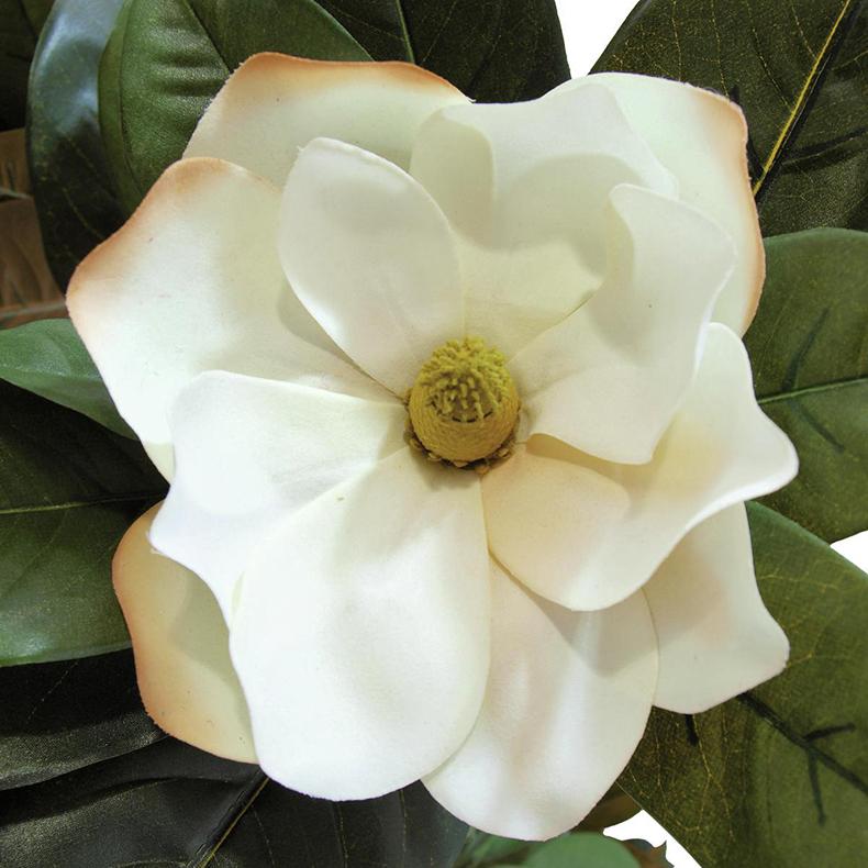 EUROPALMS 150cm Magnoliapuu, magnoliat kasvoivat maapallolla jo yli sata miljoonaa vuotta sitten. Niiden herkkää kauneutta ovat ihmiset ihastelleetaina antiikin ajoista lähtien. Magnoliat tuovat mukanaan tuulahduksen muinaisuutta. Ne kuuluvat kaikkein vanhimpien kukkakasvien joukkoon. Aikoinaan ne hallitsivat maapalloa yhdessä dinosaurusten kanssa, ja magnoliametsiä kasvoi jopa täällä pohjolassa. Nykyiset magnoliat ovat niiden kasvien jälkeläisiä, jotka selvisivät jääkausista ja lukuisista muista luonnonmullistuksista.