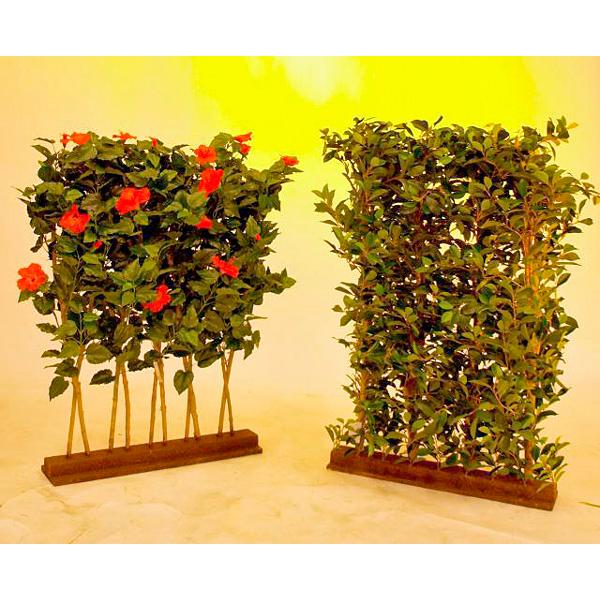 EUROPALMS 90 x 130cm Limoviikuna-aita, aito limoviikuna on viikunoiden sukuun kuuluva laji, joka kasvaa luonnonvaraisena Etelä- ja Kaakkois-Aasiassa sekä Pohjois-Australiassa. Limoviikuna on myös suosittu koristekasvi, josta on jalostettu runsaasti erilaisia lajikkeita. Limoviikunaa on kasvatettu huonekasvina jo lähes parisataa vuotta. Se on lähtöisin Intiasta. Limoviikuna muistuttaa hieman kotoista koivuamme tuuheine ja siroine lehtineen. Limoviikuna voi kasvaa luonnonvaraisena jopa 30 metriä korkeaksi puuksi. Lehdet ovat 6–13 cm pitkiä, soikeita ja pitkäkärkisiä sekä kiiltäviä. Lajikkeet eroavat toisistaan lehtien koon, värin sekä värityksen kirjavuuden suhteen. Koko viikunasarjan kaikki koot ovat erittäin edullisia.
