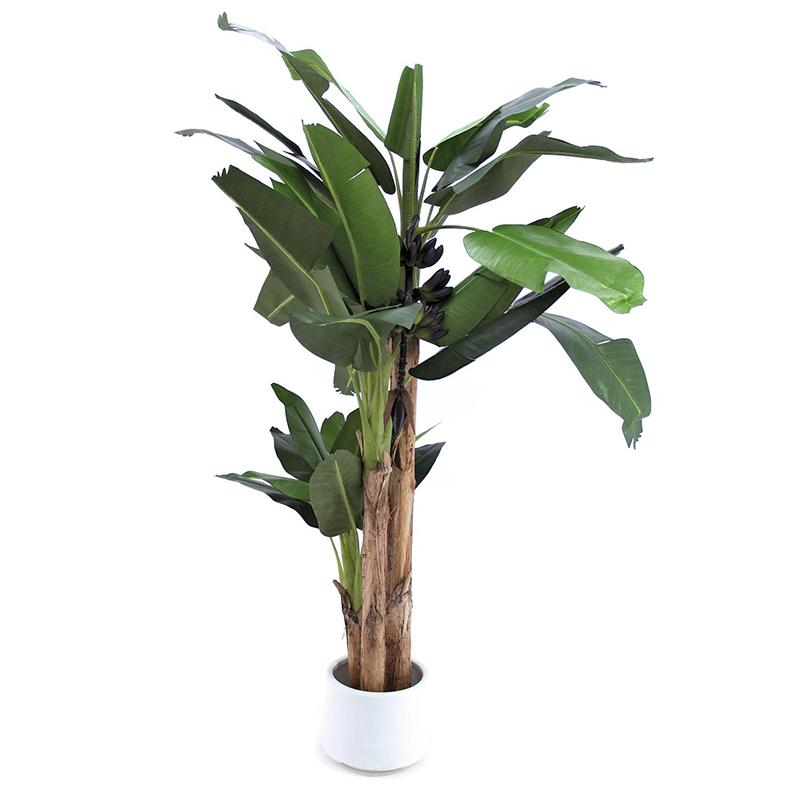 EUROPALMS 250cm Banaanipuu kolmella rung, discoland.fi