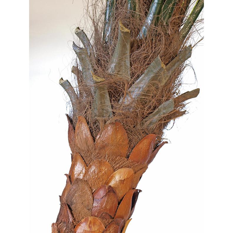 EUROPALMS 320cm Kookospalmu muotoiltavalla ja taipuisalla rungolla, näyttävä ja aivan huippulaatua. Kookospalmu tunnetaan hedelmästään kookospähkinästä, se kasvaa jopa 40 metrin pituiseksi. Kookospalmun runko on haaraton, ja lehdet lähtevät tähtimäisesti yhdestä pisteestä. Palmu on kotoisin Kaakkois-Aasian rannikoilta Malesia, Indonesia, Filippiinit ja Melanesia. Uskotaan että sen luonnonmuodot ovat levinneet merivirtojen mukana jo esihistoriallisena aikana. Nykyisin sitä viljellään laajasti tropiikissa ja subtropiikissa. Kookospalmu on mielenkiintoinen ja tavallisuudesta poikkeava katseenvangitsija joko yksittäiskasvina tai ryhmänä.