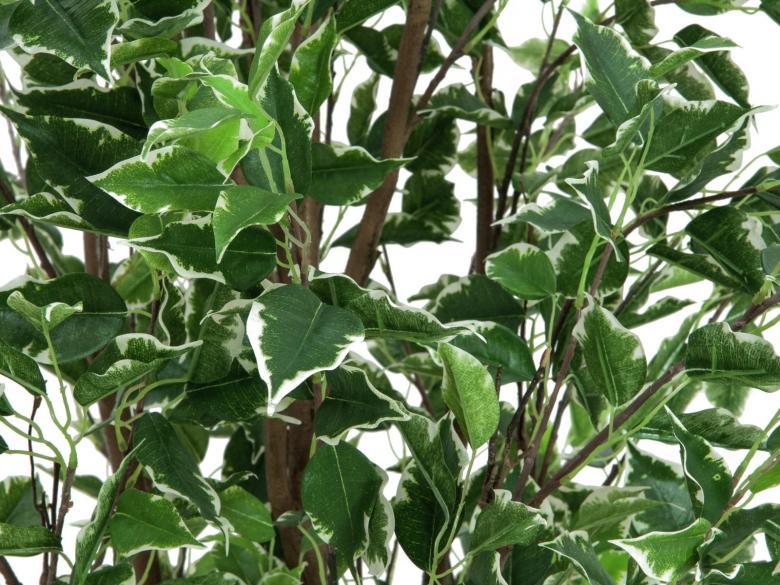 EUROPALMS 210cm Deluxe Limoviikuna, kirjavat kohokuvioidut lehdet ja aito runko. Limoviikuna on viikunoiden sukuun kuuluva laji, joka kasvaa luonnonvaraisena Etelä- ja Kaakkois-Aasiassa sekä Pohjois-Australiassa. Limoviikuna on myös suosittu koristekasvi, josta on jalostettu runsaasti erilaisia lajikkeita. Limoviikunaa on kasvatettu huonekasvina jo lähes parisataa vuotta. Se on lähtöisin Intiasta. Limoviikuna muistuttaa hieman kotoista koivuamme tuuheine ja siroine lehtineen. Limoviikuna voi kasvaa luonnonvaraisena jopa 30 metriä korkeaksi puuksi. Lehdet ovat 6–13 cm pitkiä, soikeita ja pitkäkärkisiä sekä kiiltäviä. Lajikkeet eroavat toisistaan lehtien koon, värin sekä värityksen kirjavuuden suhteen. Koko viikunasarjan kaikki koot ovat erittäin edullisia.