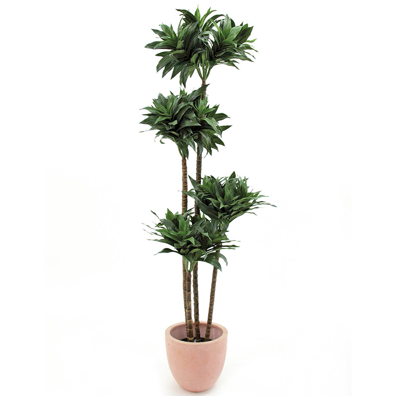 EUROPALMS 120cm Traakkipuu nelirunkoinen. Dracaena, 4-trunks. Natural appearing Dracaena plant for superior decorations