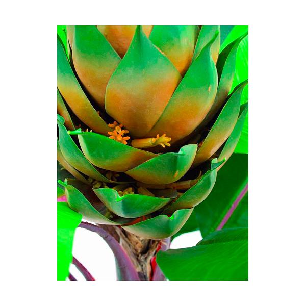 EUROPALMS 180cm Kuningas Kolibrikukka. King Strelitzia 15 leaves in cemented pot.