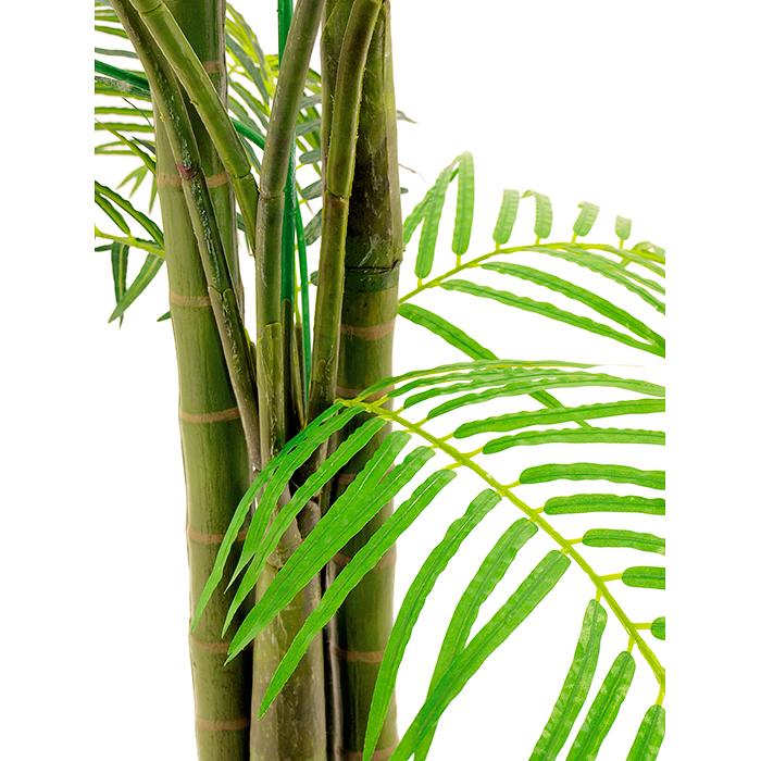 EUROPALMS 240cm Arekapalmun taimi nelirunkoinen, aitoa Arekapalmua eli Petelpalmua eli Pähkinäbetelpalmu kasvatetaan yleisesti Tyynenmeren trooppisilla saarilla, Aasiassa ja osissa Itä-Afrikkaa. Se on keskikokoinen puu, joka kasvaa 20 metriä korkeaksi. Rungosta tulee 20–30 senttimetriä paksu ja lehdet ovat 2–3 metriä pitkiä. Palmu tuottaa hedelmän, eli betelpähkinän, jota käytetään varsinkin Intiassa, Malesiassa ja Taiwanissa.
