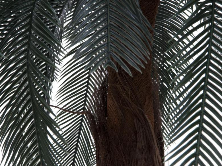 EUROPALMS 210cm Käpypalmu, aidot Käpypalmut jakautuvat kolmeen heimoon, yhteentoista sukuun ja 289 tunnettuun lajiin, jotka kaikki esiintyvät maapallon trooppisissa ja subtrooppisissa osissa. Keski- ja Etelä-Amerikassa lajimäärä on runsain. Useita lajeja esiintyy myös Australiassa, Tyynenmeren saarilla, Japanissa, Kiinassa, Intiassa, Madagaskarilla ja ainakin 65 lajia Afrikan mantereen eteläosassa ja trooppisessa keskiosassa. Yhdessä neidonhiuspuiden kanssa käpypalmut ovat vanhin nykyään elävä siemenkasviryhmä. Ne kehittyivät todennäköisesti muinaisista siemensaniaisista myöhäisellä paleotsooisella maailmankaudella. Varhaisimmat Kiinasta tehdyt fossiililöydöt ovat peräisin alapermikaudelta 270–280 miljoonaa vuotta sitten.