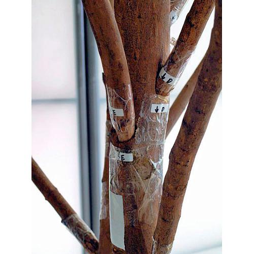 EUROPALMS 250cm Jättimäinen Olivipuu (öljypuu) oliiveilla, erittäin majesteetillinen ja näyttävä aidolla rungolla, välimeren tunnelmaa. Aito oliivi on hyvin vanha viljelyskasvi. Kreetalla sitä tiedetään viljellyn jo noin vuonna 3000 eaa. Sitä milloin oliiveja on ensimmäisen kerran viljelty, niin ei tiedetä. Hedelmä, oliivi eli öljymarja, on pieni, 1–2,5 cm pitkä öljypitoinen luumarja.