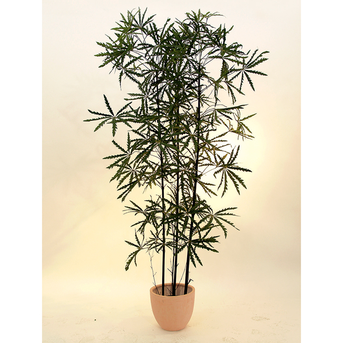 EUROPALMS 120cm Japaninvaahtera. Japanese Maple - Modern tree for high tech decorations