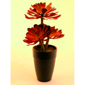 EUROPALMS 28cm Mehikasvi deco-ruukussa, tummanpunainen, muovisekoitetta. Aeonium plant, dark-red. Succulent Aeonium plant pefrect as table decorations