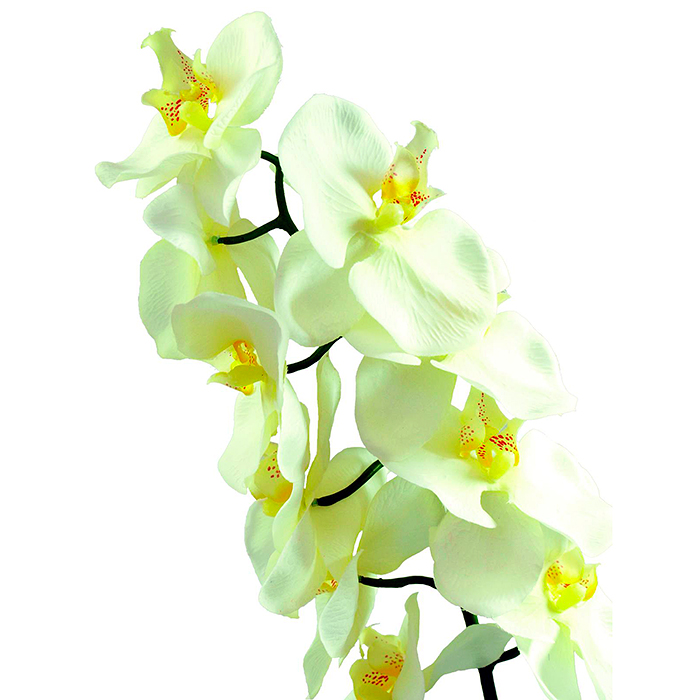 EUROPALMS 70cm Orkidea, väri kerma. Nykyisten orkideoiden esi-isät olivat olemassa maapallolla jo noin 80 miljoonaa vuotta sitten.