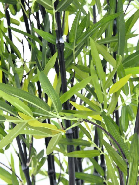 EUROPALMS 180cm Bamburuokoa tummaa deco-kulhossa, aidot bambut on heinäkasvien ryhmä, johon kuuluu noin 90 sukua ja näihin yhteensä yli tuhat lajia, yksittäinen bambu versoo suoraan maasta vuosittain useita versoja, ja niiden halkaisija riippuu emokasvin iästä, pituutta tulee päivittäin lisää. Bambut, kuten muutkin heinäkasvit, kasvavat maan rajasta eikä kärjestään. Bambuja kasvaa villinä laajalla alueella ja viljeltynä lähes kaikkialla. Laajimmat bambumetsät ovat Aasian vuoristoissa, joissa bambuja kasvaa jopa 4 000 metrin korkeudessa. Bambun varsi on erittäin kuitupitoinen, ja sitä käytetään rakennusmateriaalina, polttopuuna, työkalujen ja tarveastioiden valmistukseen sekä tekstiilien raaka-aineena. Nuoria versoja syödään keitettyinä. Isopandat ja kultapandat käyttävät bambuja pääravintonaan