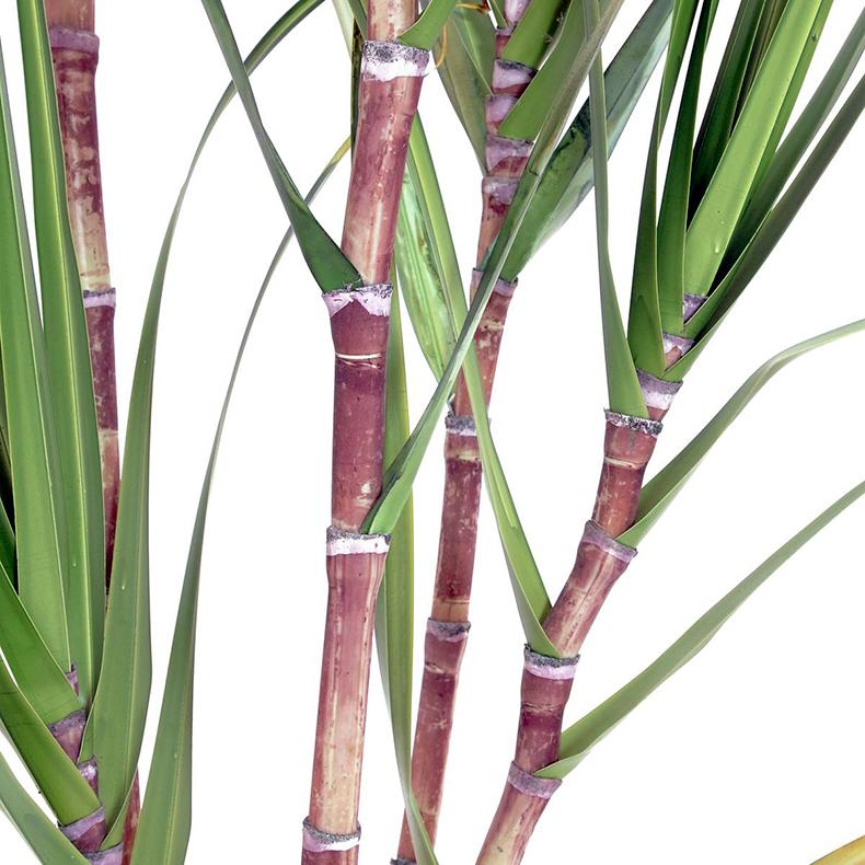 EUROPALMS 210cm Sokeriruoko dekoruukussa koristekivillä, tähän ei tarvita eekkeriä maata. Sokeriruoko on korkea monivuotinen heinä, korret kasvavat 3–6-metrisiksi ja 2–5 senttimetriä paksuiksi, varressa on 20–40 solmua, lehdet ovat 70–150 senttimetriä pitkiä ja 4–6 senttimetriä leveitä. Sokeriruokoa viljellään yli sadassa eri maassa, joista tärkeimpiä ovat Brasilia, Pakistan, Thaimaa, Intia ja Kiina