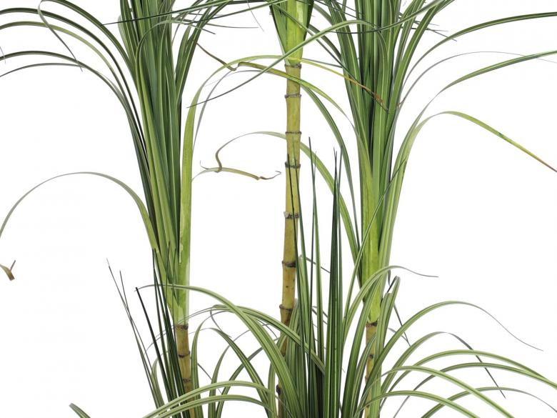 EUROPALMS 215cm Traakkipensas, 5-runkoinen, deco-ruukku. Dracena bush. Houseplant with tropic touch
