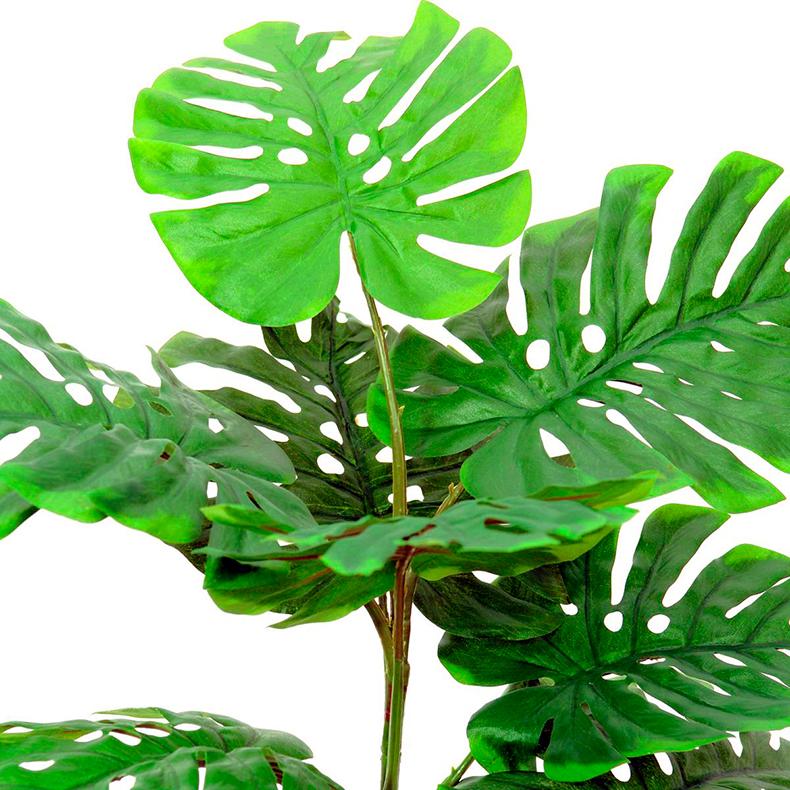 EUROPALMS 90cm Peikonlehti kolmella varrella, ilman ruukkua, aidot Peikonlehdet ovat köynnöstäviä, suurilehtisiä kasveja, joita yleisesti kasvatetaan huonekasveina. Peikonlehdet ovat kotoisin Keski- ja Etelä-Amerikasta. Luonnonvaraisena ne voivat kasvaa kymmenien metrien mittaiseksi, huonekasvina parin–kolmen metrin pituiseksi.