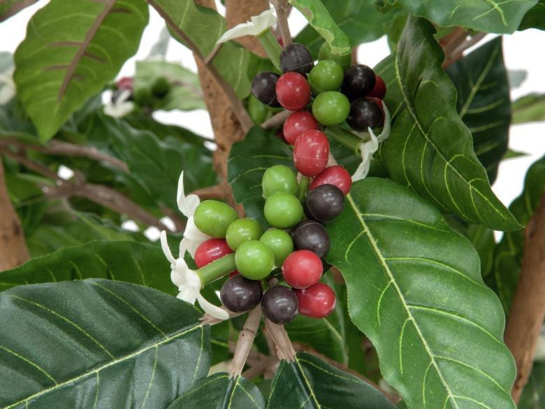 EUROPALMS 120cm Arabica kahvipensas kukilla ja hedelmillä.