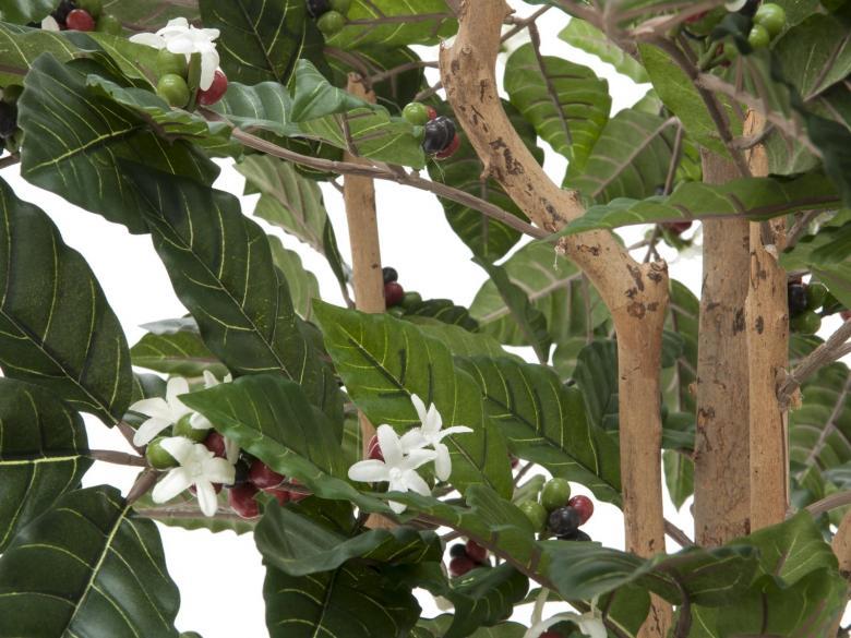 EUROPALMS 210cm Arabica kahvipensas kukilla ja hedelmillä.