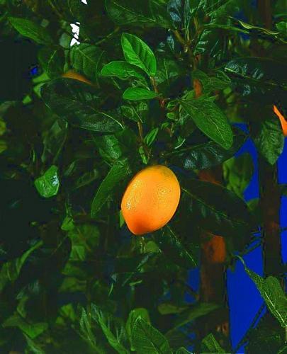 DECO DEMO: 180cm Lemon Tree, Sitruunapuu sitruunoilla