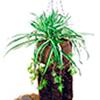 50cm Rönsylilja, aidon oloinen. Spider plant. Ext