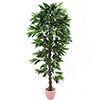 210cm Viidakko Mangopuu on tukeva runkoinen liaane