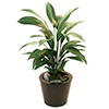 EUROPALMS 70cm Traakki v�ri vihre�. Dracena green. The elegant indoor-plant, but easy-care