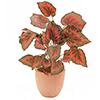 Begonia vihreänpunainen. Begonia, green-red. Easi