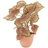 Rex Begonia, vihreänpurppura. Rex Begonia, green-