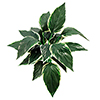 50cm Kuunlilja vihreänvalkoinen 20 lehteä.