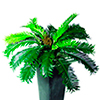 EUROPALMS 75cm K�pypalmusaniainen hedelm�ll�. Cycas Fern with fruit. Bushy Cycas Fern with fruit and