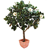 150cm Magnoliapuu. Magnolia Tree. An eye-catcher -