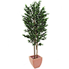 200cm Oliivipuu (öljypuu) oliiveilla, kaksi runko