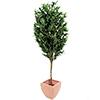 200cm Oliivipuu (öljypuu) oliiveilla, Välimeren